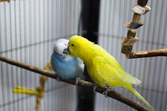 Budgies Playing. Two Budgies Playing with each other Royalty Free Stock Image