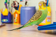 Budgies portrait Stock Photos