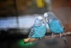 Budgies. Two beautiful colorful budgies love Royalty Free Stock Photos