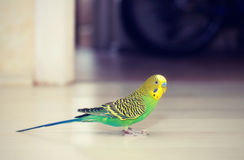 Budgies walks on floor Stock Photography