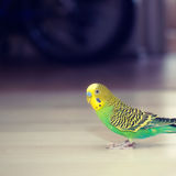 Budgies walks  on floor. Royalty Free Stock Image