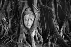 Budha head in a tree. Budha head in tree in ayuthaya Stock Photo