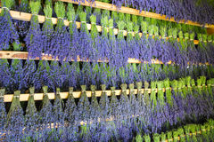 Budles of lavender hung to dry.  Royalty Free Stock Photography