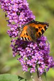 Budleya with small tortoiseshell Royalty Free Stock Photos