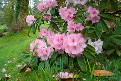 Budock Rhododendron Royalty Free Stock Images