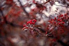buds Árvore de maçã vermelha imagens de stock