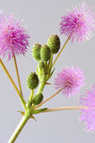 Buds. Branch of little bloomed Mimosa pudica plant Stock Image