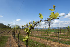 Buds. Rovato (Bs),Franciacorta,Italy, some buds of vines in a vineyard in April Stock Photos