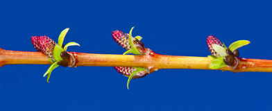 Buds Stock Photography