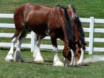 Buds. Majestic Clydesdales munching together on some field grass Royalty Free Stock Image
