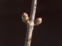 Buds. Tree branch in bud Stock Image