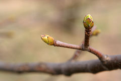 Buds Stock Photo