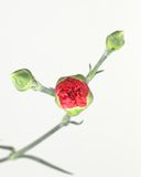 Buds. Budding Red Carnation Stock Photos