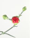 Buds. Budding Red Carnation stock photos