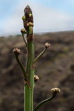 Buds of the agave Stock Photography