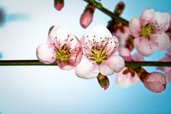 Buds of almond blossom royalty free stock photos