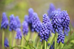 Free Buds And Bloom Blue Bells  Flowers With Blurred Background Royalty Free Stock Photography - 144838847