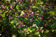 The buds of apple. Colors: pink and white; during the spring bloom Stock Image