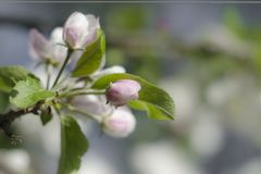Buds of apple flowers stock photos