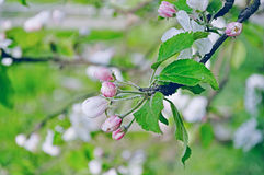 Buds of apple flowers in spring blossom under soft sunlight - spring floral background in pastel tones Royalty Free Stock Photos