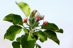 Buds apple tree Stock Images