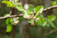 Buds on apple tree branch Stock Photo