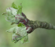Buds of apple tree Stock Photography