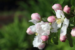 Buds of apple-tree Stock Images