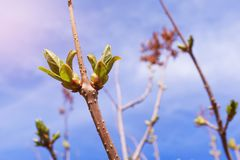 Buds bloom on a tree branch on a Sunny day, close-up, blurred background. The appearance, germination of the first spring leaves stock images