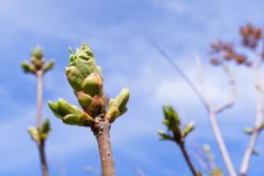 Buds bloom on a tree branch on a Sunny day, close-up, blurred background. The appearance, germination of the first spring leaves stock image
