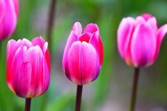 Blooming tulips.The natural background. Stock Image