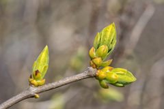 Buds are blooming during spring. The sun is shining and the buds are blooming during spring Stock Photo