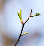 Buds blossom on a tree branch. In nature Stock Images