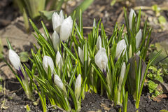 Buds of a blossoming white crocus flower in the early spring. Royalty Free Stock Photography