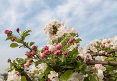 Buds and blossoms at an apple tree Stock Images