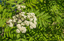 Buds and blossoms of a European Rowan. Budding and blossoming European Rowan or Sorbus aucuparia with a bee in springtime Stock Images