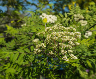 Buds and blossoms of a European Rowan. Budding and blossoming European Rowan or Sorbus aucuparia in springtime Royalty Free Stock Image