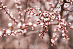 Buds on a branch of apricots. That started to blossom Royalty Free Stock Photo