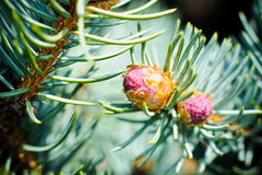 Buds at the branch of the blue spruce Royalty Free Stock Photography