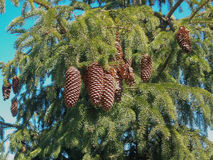 Buds on the branch. Bunch of fir cones hanging on the tree Stock Photo
