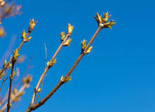Buds on a branches Royalty Free Stock Photography