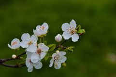 Buds on the branches, flowering trees, spring Stock Photography