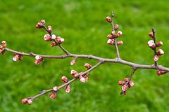 Buds on the branches, flowering trees, spring Royalty Free Stock Image