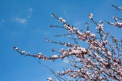 Buds on the branches, flowering trees, spring Royalty Free Stock Images
