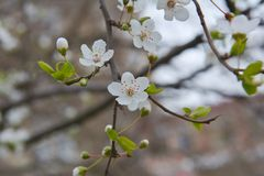 Buds on the branches, flowering trees, spring Royalty Free Stock Photo