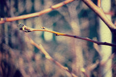Buds on Branches. Fresh spring buds on branches, spring background Royalty Free Stock Image