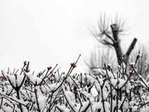 The buds on the branches in the snow Royalty Free Stock Photography