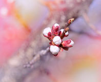 Buds - Budding buds (flowering in spring) Royalty Free Stock Photography