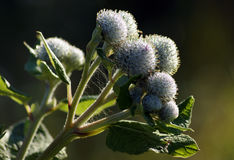 Buds of burdock Royalty Free Stock Photo