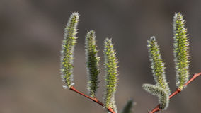 Buds of a bush. Against an indistinct background Royalty Free Stock Photos